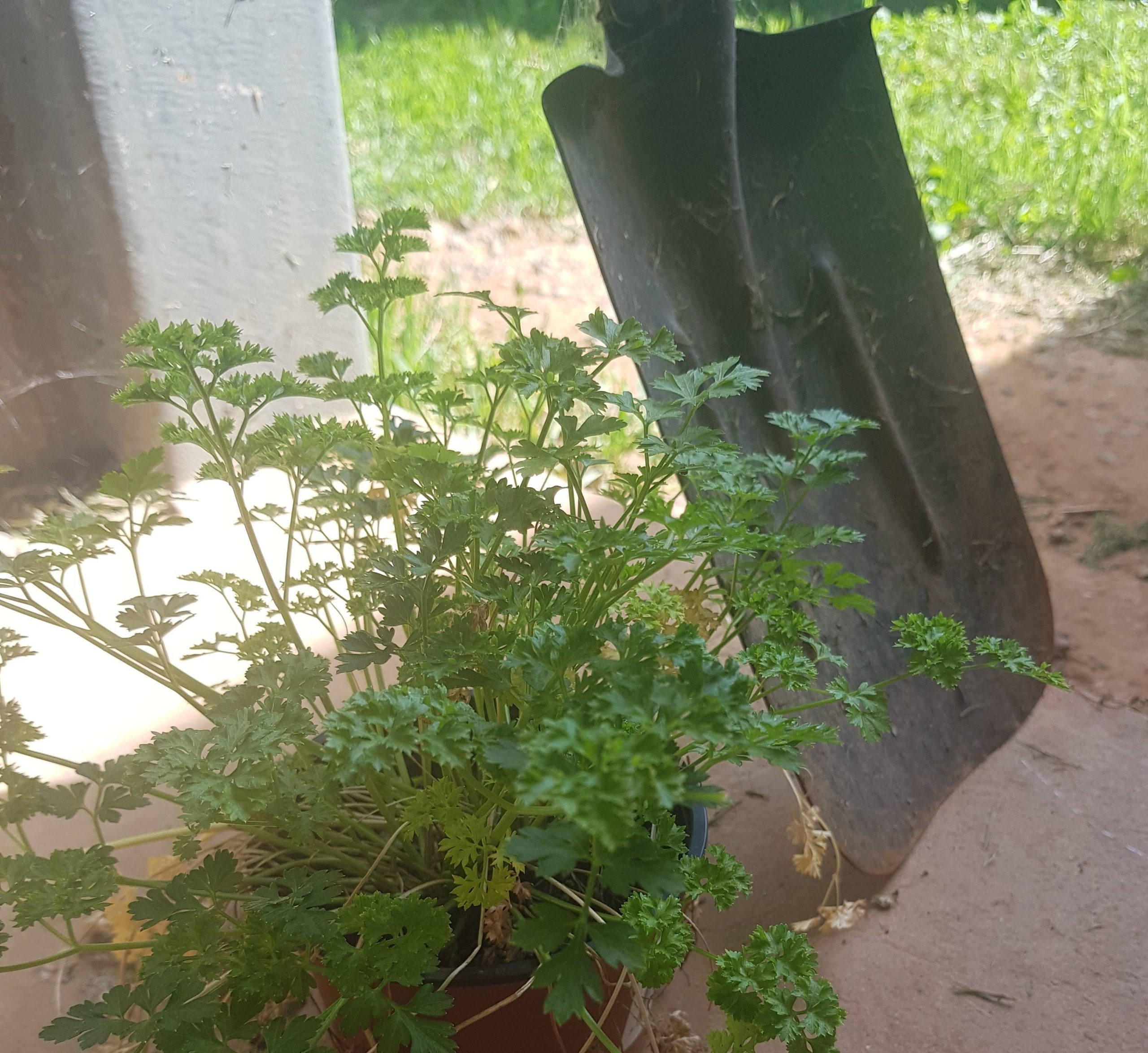 How To Take Care Of A Parsley Plant. Parsley next to shovel outside.