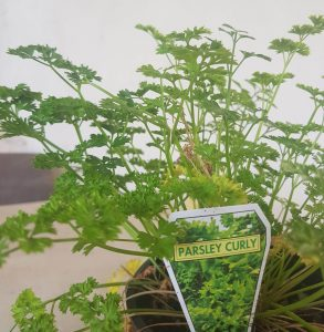 Herb growing guide. Curly parsley.