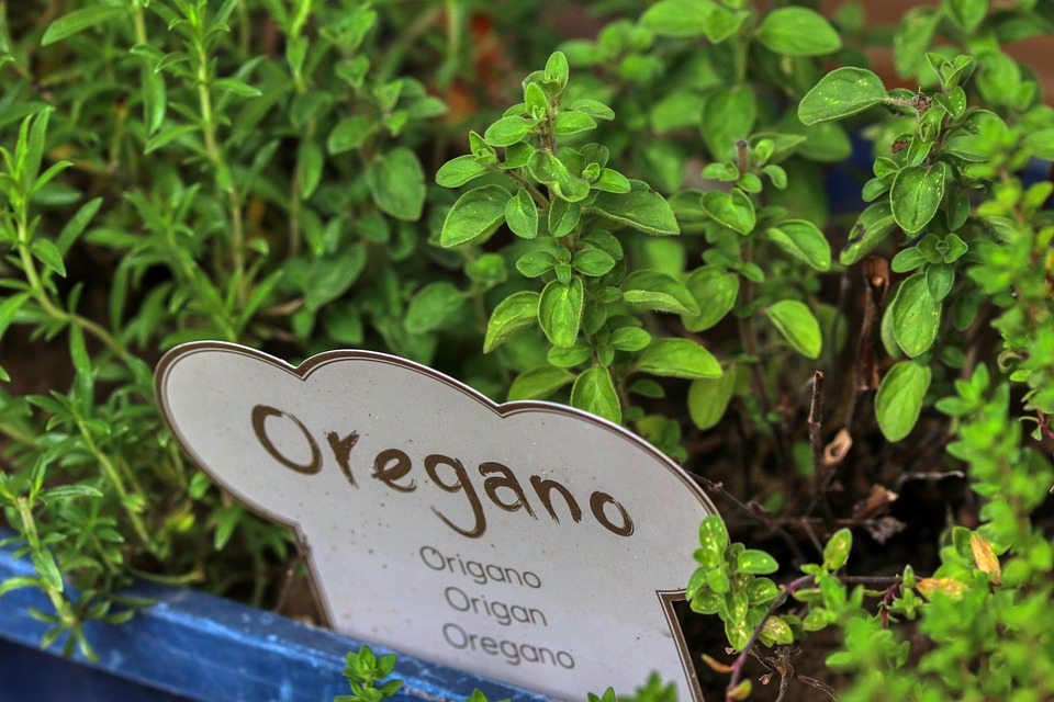 Oregano lable in oregano plant